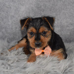 Yorkishire terrier puppies for sale in DE