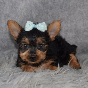 Yorkie puppy adoptions in VA