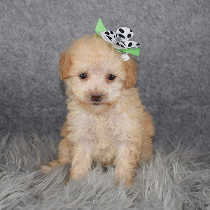 Poodle puppy adoptions in NY
