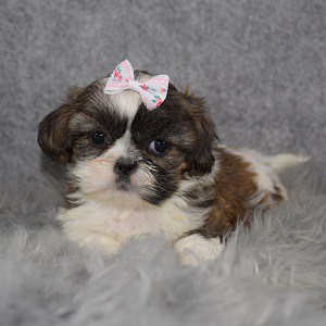 Shih Tzu Puppy Adoptions in VA