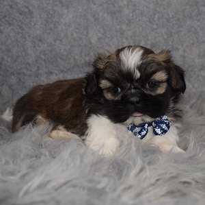 Shih Tzu Puppy Adoptions in NJ