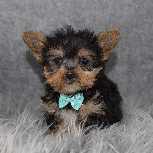 Yorkie puppies for sale in MA