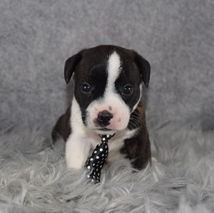 BoJAck puppies for sale in PA