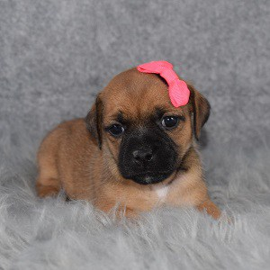 jug puppies for sale in RI