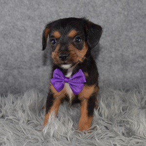 jackapoo puppies for Sale in NJ