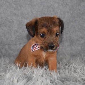 jackapoo puppies for Sale in DE
