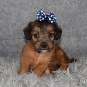 jackapoo puppies for Sale in RI