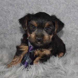 Yorkie puppy adoptions in MD