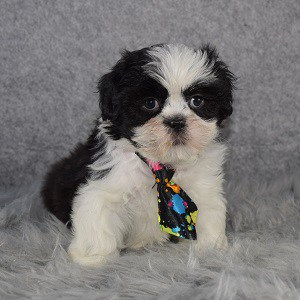 Shih Tzu puppies for sale in OH