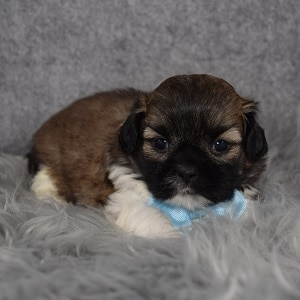 Shih Tzu Puppy Adoptions in MD