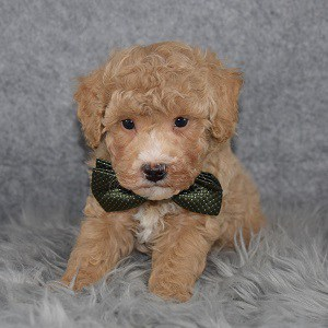 Poodle puppies for sale in VA