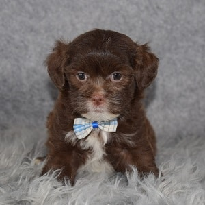 Shihpoo puppies for sale in ME