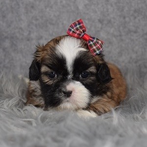 Shih Tzu Puppy Adoptions in DE