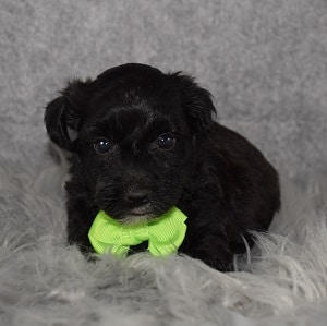 Yorkichon puppy adoptions in DE
