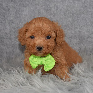Poodle puppies for sale in NY