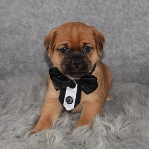 jug puppies for sale in CT
