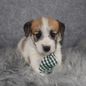 jack russell mixed puppies for Sale in PA