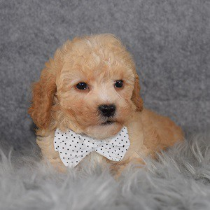 Poodle puppy adoptions in MD