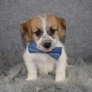 jack russell mixed puppies for Sale in NJ