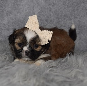 Shih Tzu puppies for sale in NY