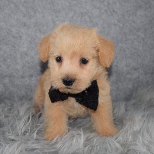 Westiepoo puppies for sale in NJ