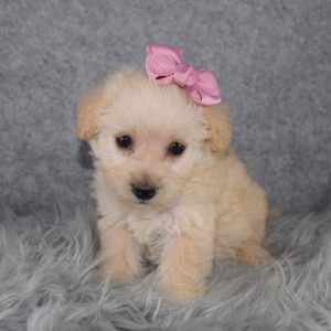 Westiepoo puppies for sale in MD