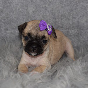 jug puppies for sale in NJ