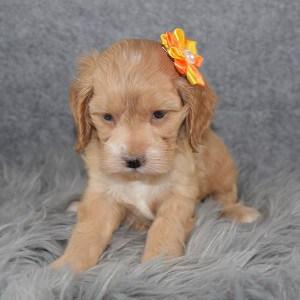 Cockapoo puppies for Sale in RI