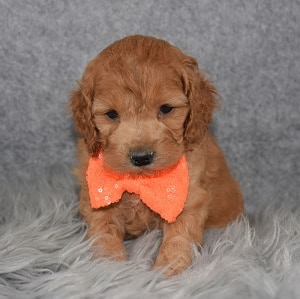 Cockapoo puppies for sale in MA