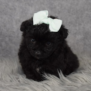 pomapoo puppies for sale in NY