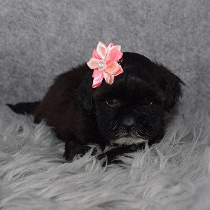 Shihpoo puppies for sale in NY