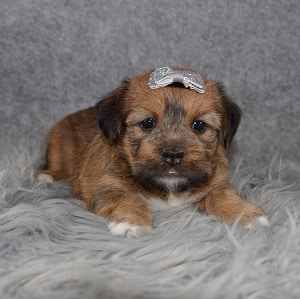 Shorkie puppies for sale in RI
