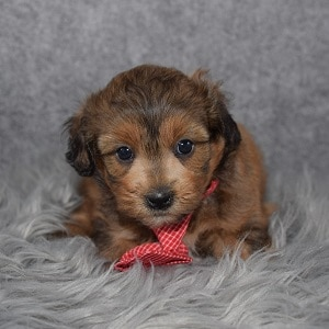 Shihpoo puppies for sale in PA