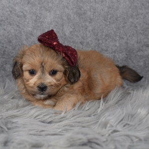 Shihpoo puppies for sale in VA