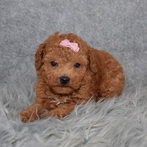 Poodle puppies for sale in MD