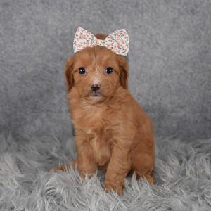 cavalier mixed puppies for sale in VA