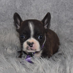 frenchton puppies for sale in DE