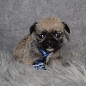Shih Tzu mix puppies for sale in CT
