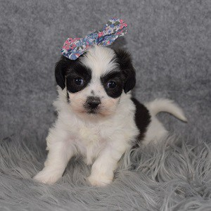 Mal-shi puppies for sale in NJ