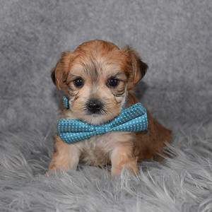 morkie puppy adoptions in VA