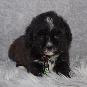 Shihpoo puppies for sale in VT