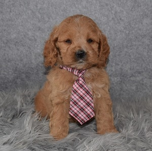 Cockapoo puppies for sale in PA