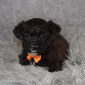 yorkichon puppies for sale in ME