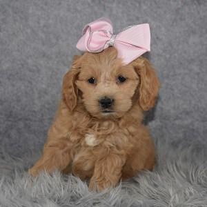 Cockapoo puppies for sale in NJ