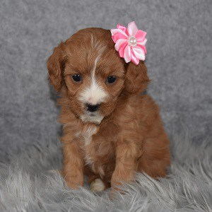 Cavapoo puppies for sale in CT