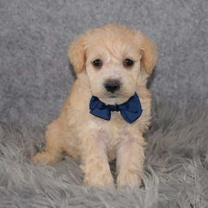 Schnoodle puppies for sale in OH