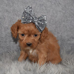 Cavapoo puppies for sale in RI