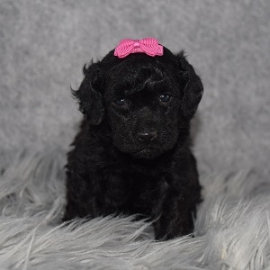 Poodle puppies for sale in NJ