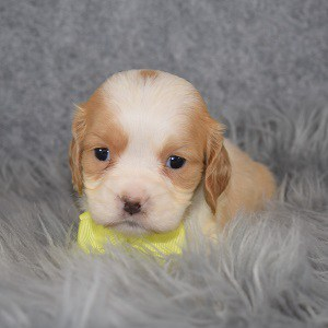 cockalier puppies for sale in MD