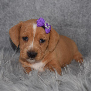 dachshund puppies for sale in ME